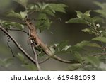 brown lizard on the tree at the ... | Shutterstock . vector #619481093