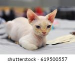 sphynx cat at cat show in...   Shutterstock . vector #619500557