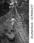 Small photo of Head and paw of one gharial crocodile on the riverside in black and white.