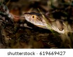 Small photo of Texas Copperhead (Agkistrodon contortrix laticinctus) extended with head raised and tongue out. White, brown, copper, black and yellow highlights on grass at night
