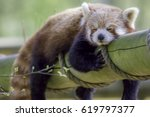 red panda sleeping. cute animal ... | Shutterstock . vector #619797377