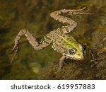 edible frog  rana esculenta ...   Shutterstock . vector #619957883