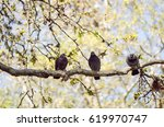 grey urban pigeons on branch... | Shutterstock . vector #619970747