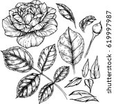 rose flowers drawing... | Shutterstock .eps vector #619997987