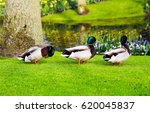 Ducks On Green Grass