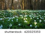 Anemone Nemorosa Flower In The...