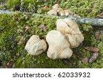 Small photo of Albatrellus ovinus. Edible mushroom