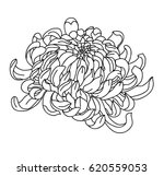 hand drawn chrysanthemum for... | Shutterstock .eps vector #620559053