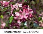 spring season cherry blossoms...   Shutterstock . vector #620570393