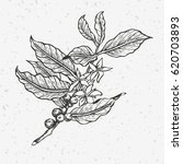 coffee tree illustration....   Shutterstock .eps vector #620703893