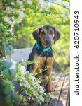 Small photo of Black and Tan Hound Mix