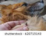 help clean ticks from dogs. | Shutterstock . vector #620715143