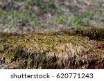 spring moss | Shutterstock . vector #620771243