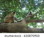 golden langur  gibbon wildlife... | Shutterstock . vector #620870903