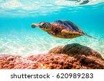 endangered hawaiian green sea... | Shutterstock . vector #620989283