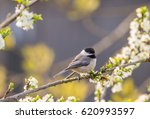 Black Capped Chickadee In A...