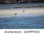 sea gull on sandbar | Shutterstock . vector #620999333