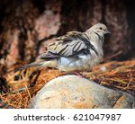 Mourning Dove Fluffing His...