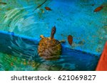 Small photo of American red-bellied turtle in the pool on the street