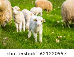 group of lambs  little cheeps | Shutterstock . vector #621220997