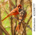 Small photo of Pair of Cardinals. A male Northern Red Cardinal feeding his mate.