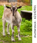 Newborn goatling on farmyard - stock photo