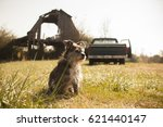 Terrier Mix With Old Truck And...
