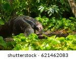 giant anteater | Shutterstock . vector #621462083