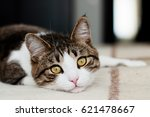 Stock photo cute cat is resting 621478667