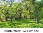 santa sunana oak forest in...   Shutterstock . vector #621524423