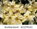 beautiful white poinsettia... | Shutterstock . vector #62159161