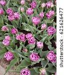 tulips garden  | Shutterstock . vector #621626477