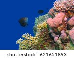 wrasse fish on the rich... | Shutterstock . vector #621651893