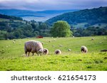 Herd Of Sheep On Green Pasture...
