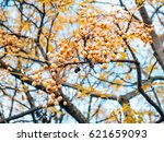 yellow fruit of a plant melia... | Shutterstock . vector #621659093