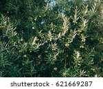 olive branch with fruits. olive ... | Shutterstock . vector #621669287