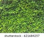 banyan tree covered wall ... | Shutterstock . vector #621684257