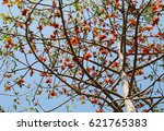 blossom of the red silk cotton... | Shutterstock . vector #621765383