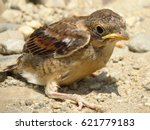 Small photo of Red-backed shrike (Lanius collurio)