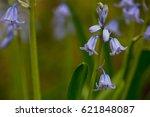Bluebell   English Woodland