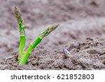 Green Asparagus Plant   Grows ...