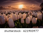 sunset at the tulip field... | Shutterstock . vector #621903977