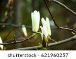 pair pink magnolia flower close