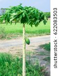 Small photo of A green papaya is on tree and has afield.