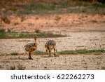 Two Ostrich Chicks In The...