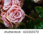Close Up Of Pink Big Begonia...