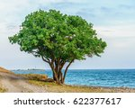 Lone Green Terebinth Tree With...