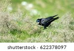 Black Raven On Green Grass