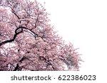 full bloom sakura flower tree... | Shutterstock . vector #622386023
