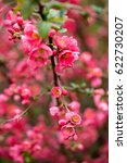 cherry blossom in spring for... | Shutterstock . vector #622730207